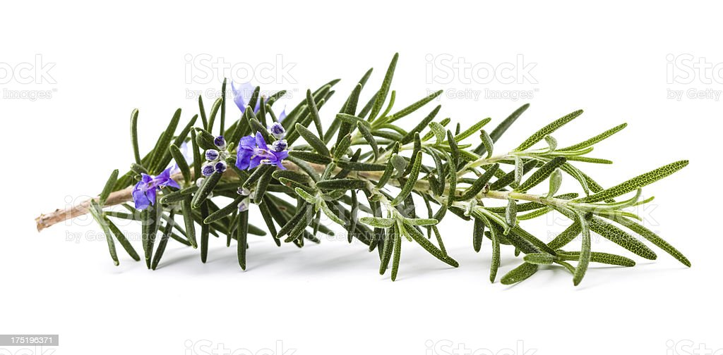 Rosemary herb with flower on white stock photo