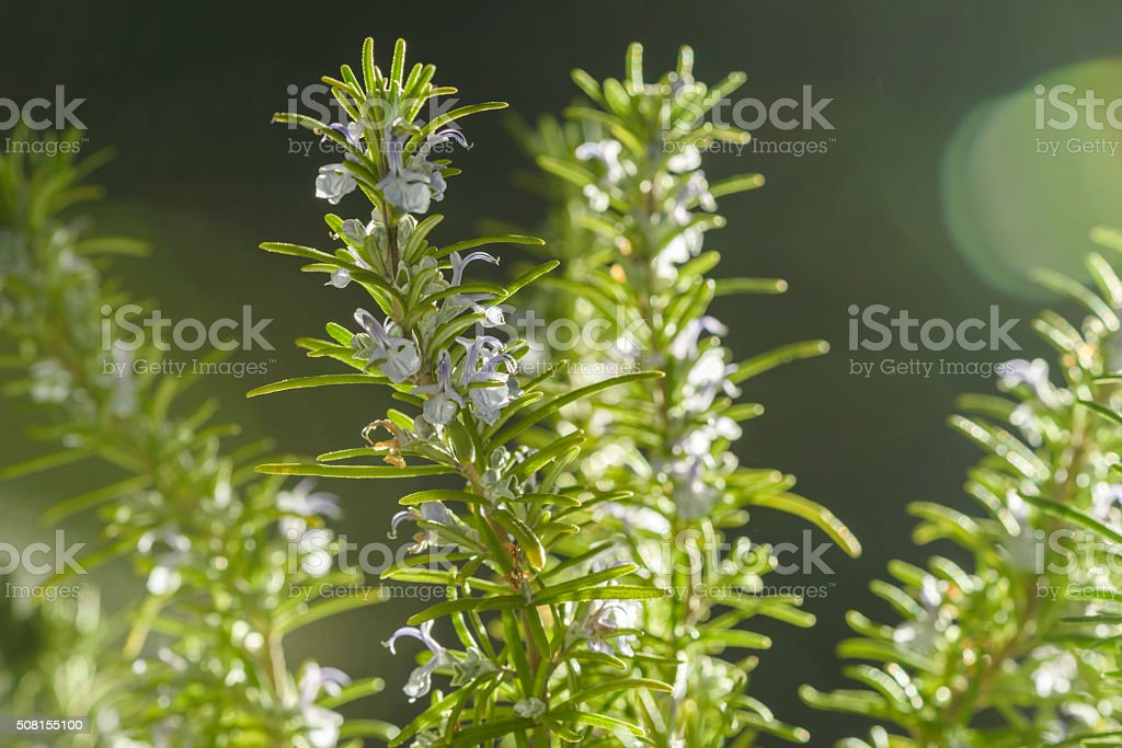 Rosemary Herb with Flowers Close-up stock photo