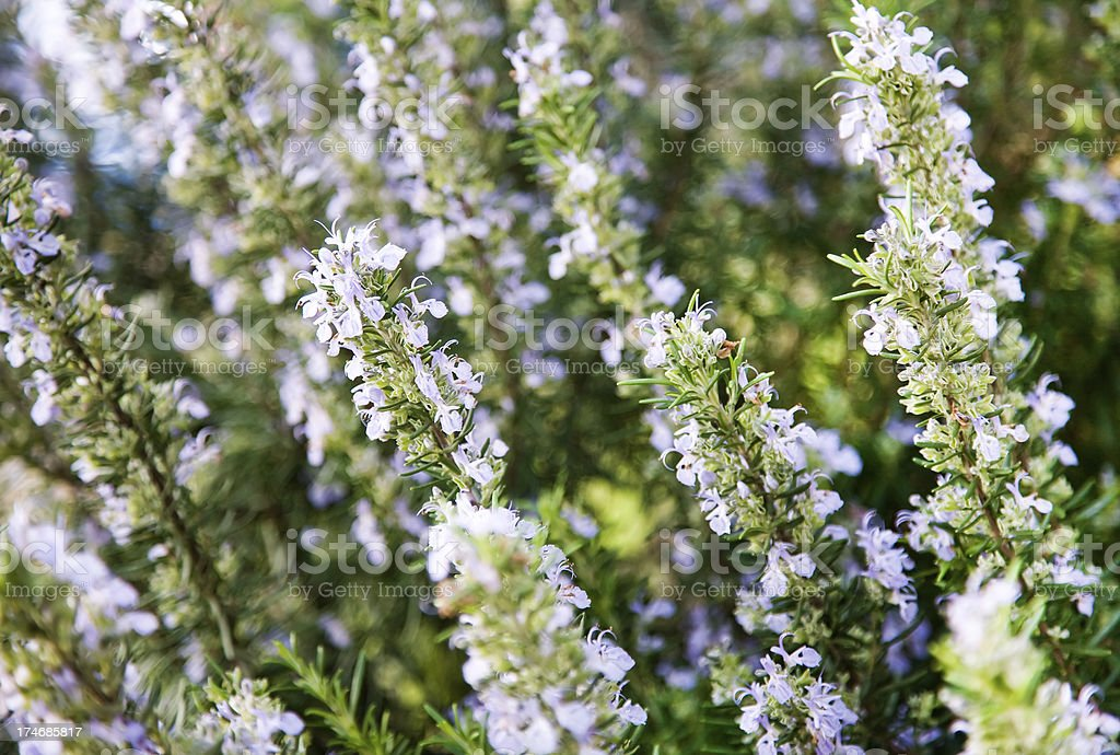 Rosemary in flower royalty-free stock photo