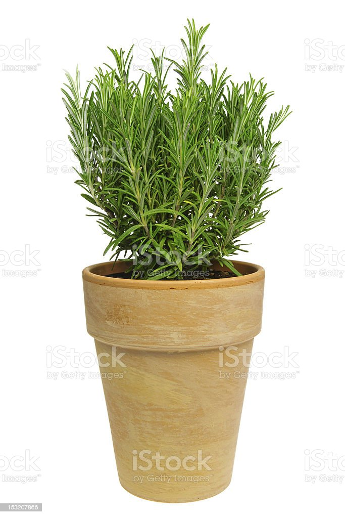 Rosemary isolated stock photo