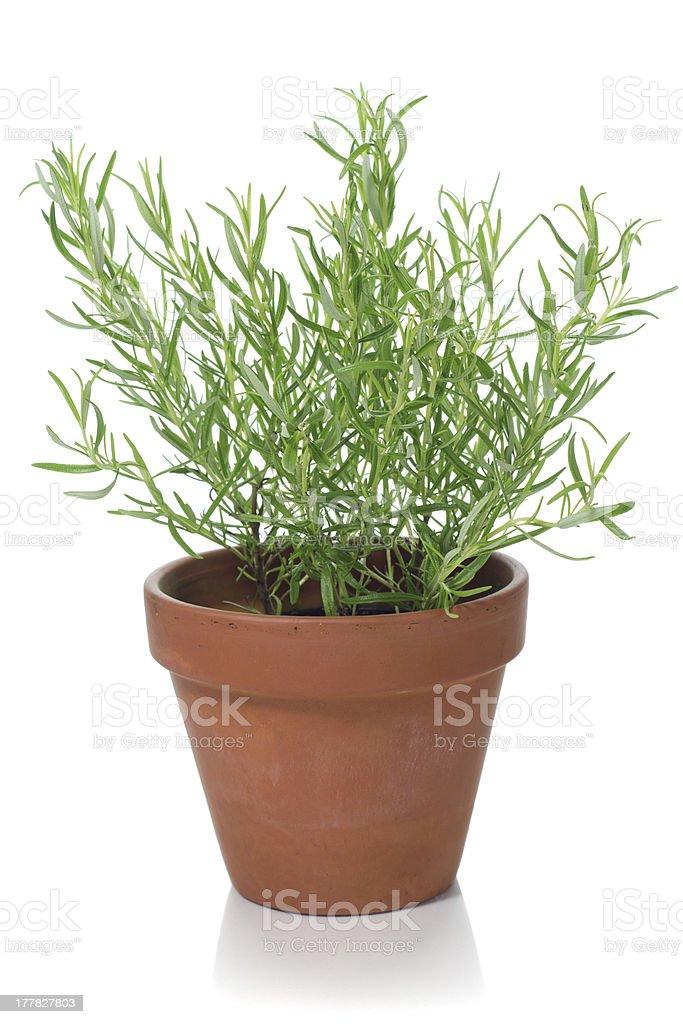 Rosemary plant royalty-free stock photo