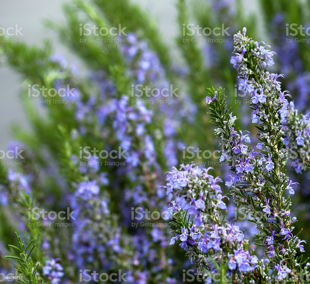 Rosemary plant stock photo
