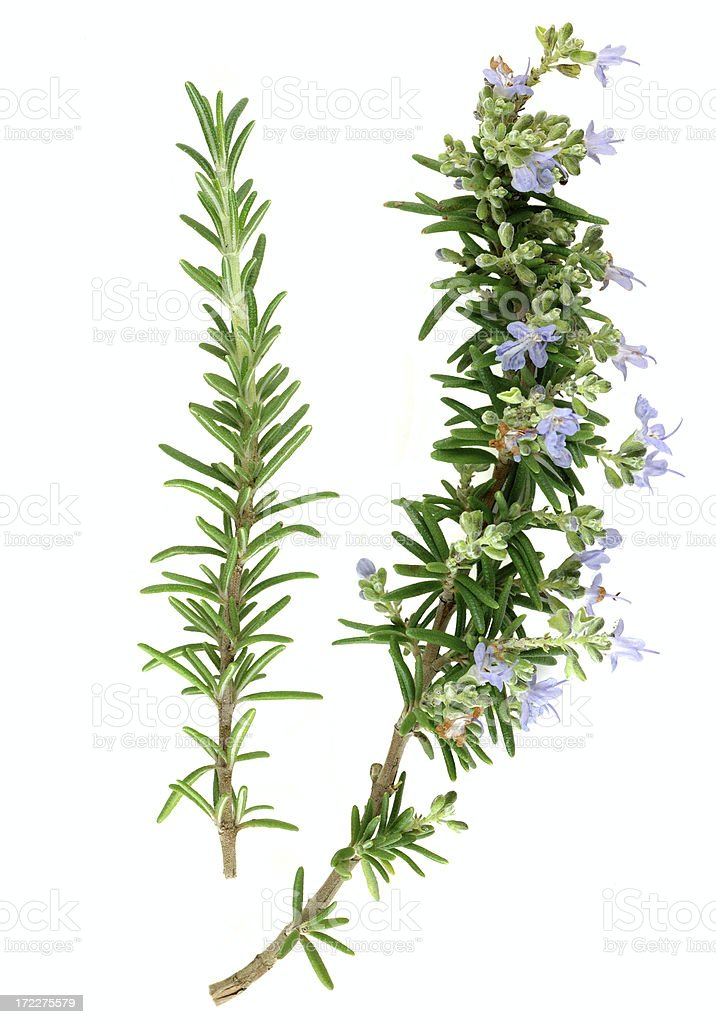 Rosemary sprigs stock photo