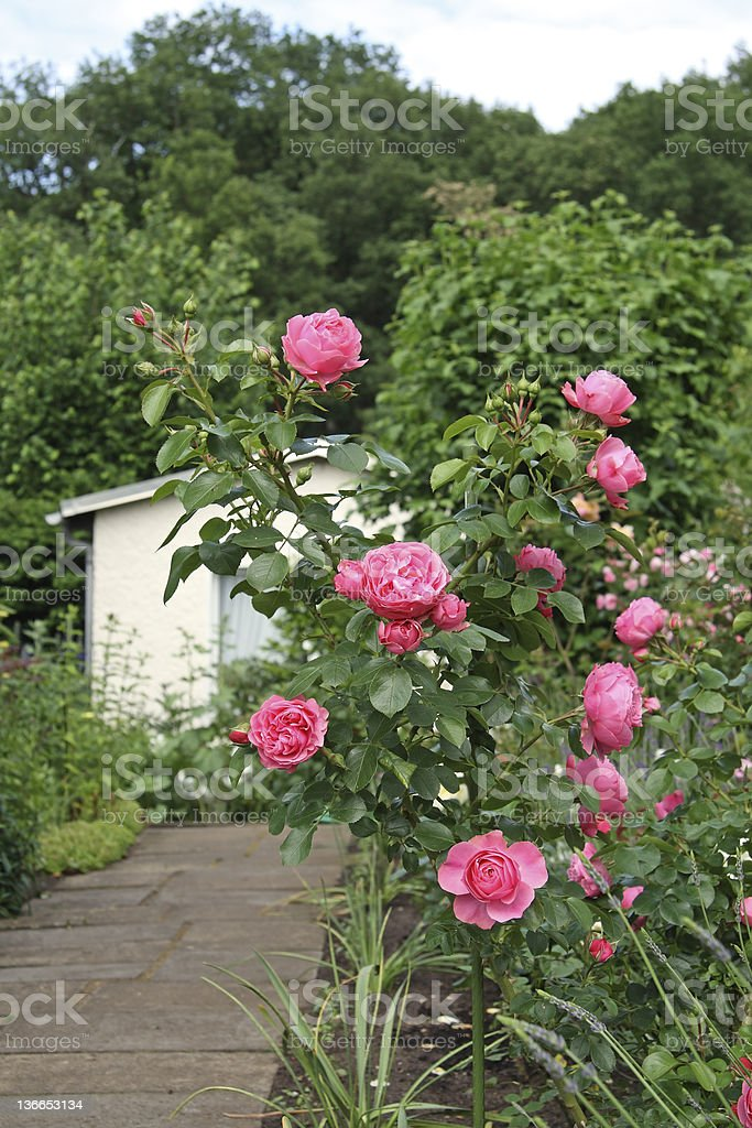 Rosen im Garten stock photo