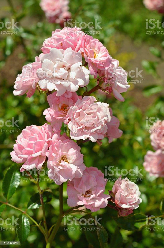 Rosen stock photo