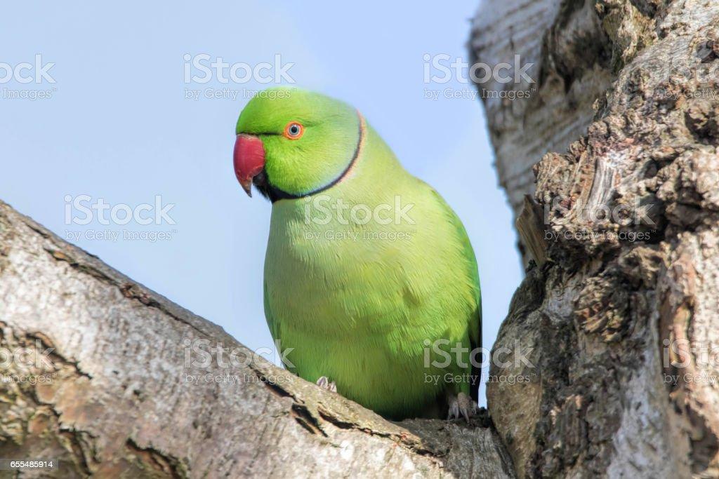 Rose-Ringed Parakeet in tree. Psittacula Krameri stock photo