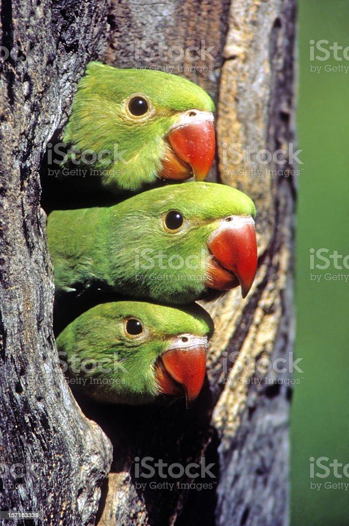 Rose-ringed Parakeet Nestlings royalty-free stock photo