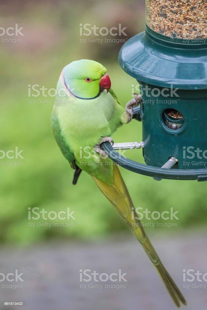Rose-Ringed Parakeet on bird feeder. Psittacula Krameri stock photo