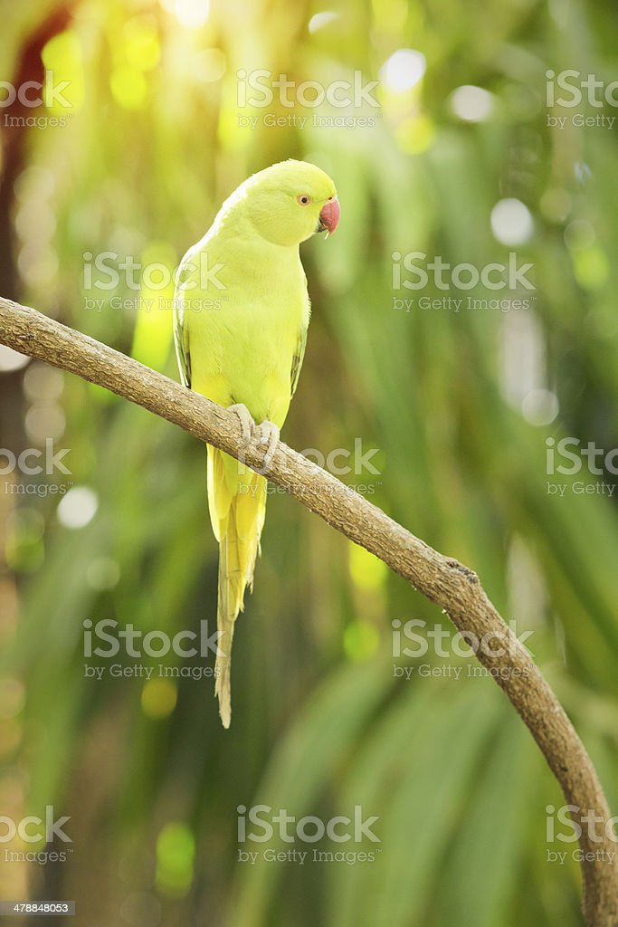 Rose-ringed Parakeet royalty-free stock photo