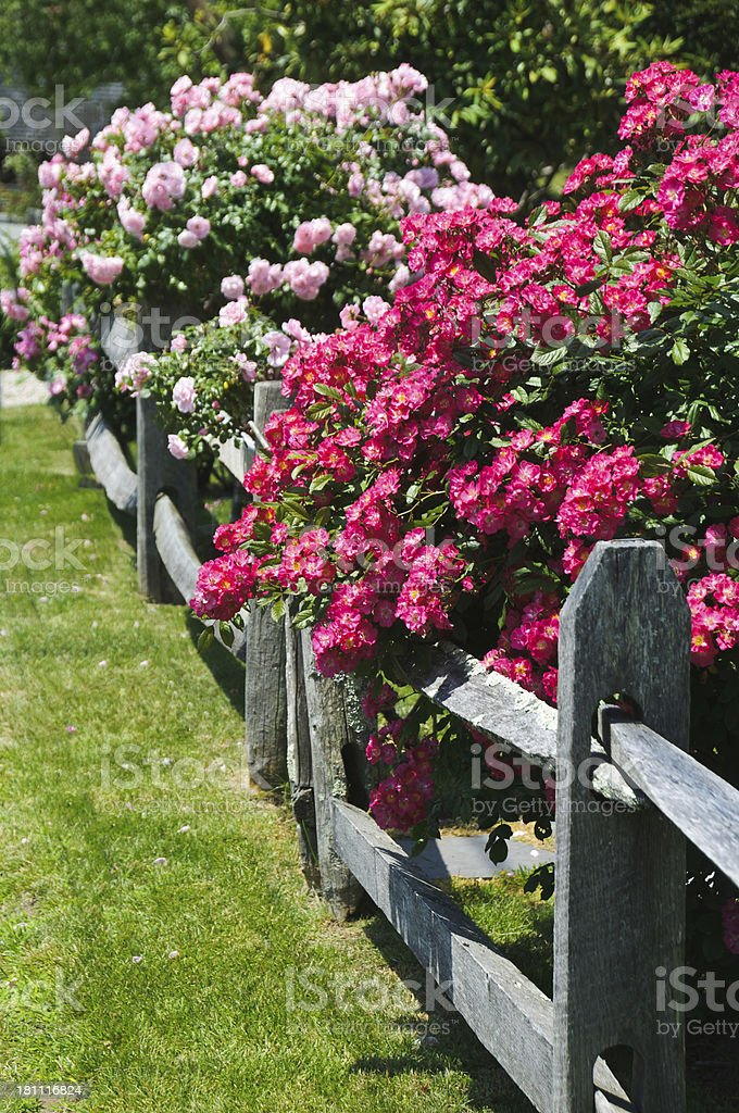 Roses along the Fence Line royalty-free stock photo