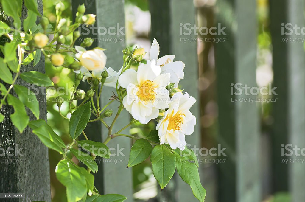 Roses and fence stock photo