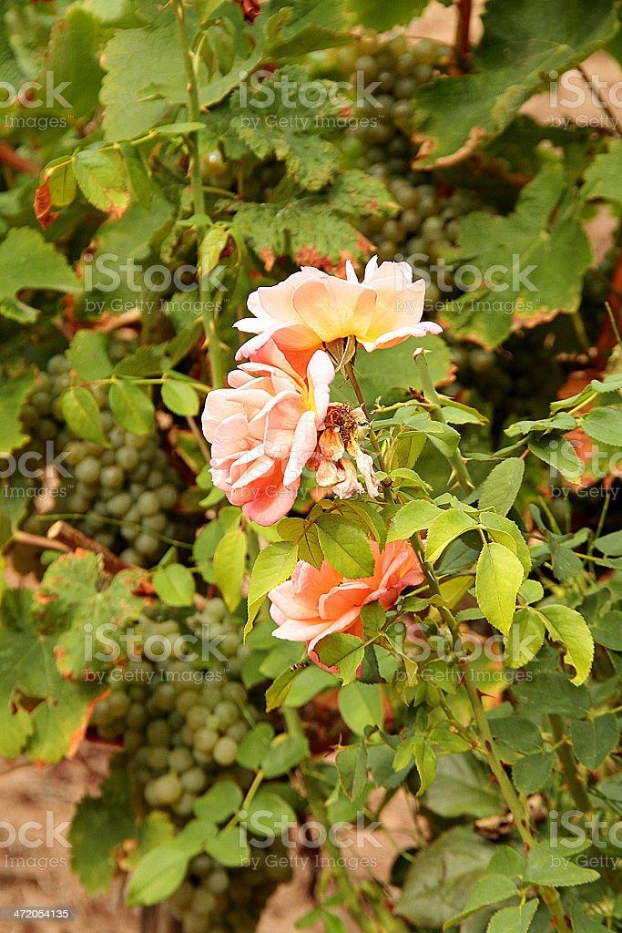 Rose e uva foto stock royalty-free
