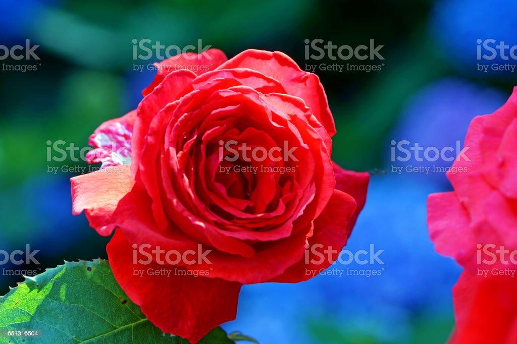 Roses and hydrangea stock photo