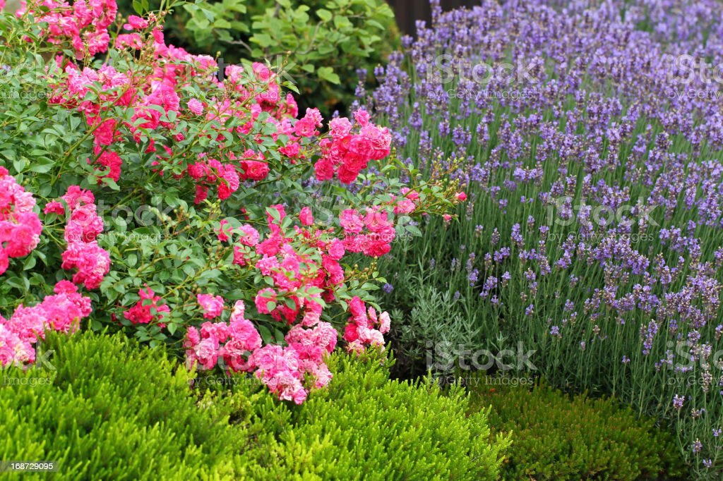 Roses and Lavender royalty-free stock photo