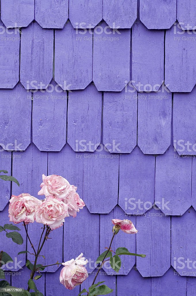 roses and lilac wall. royalty-free stock photo