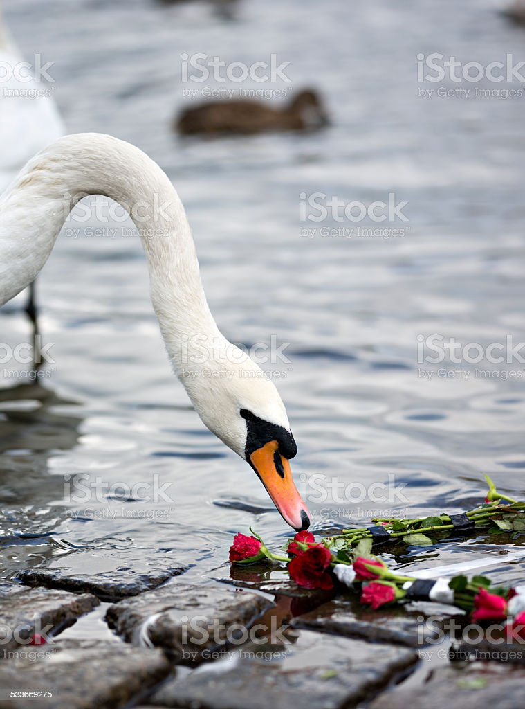 Roses and the Swan stock photo