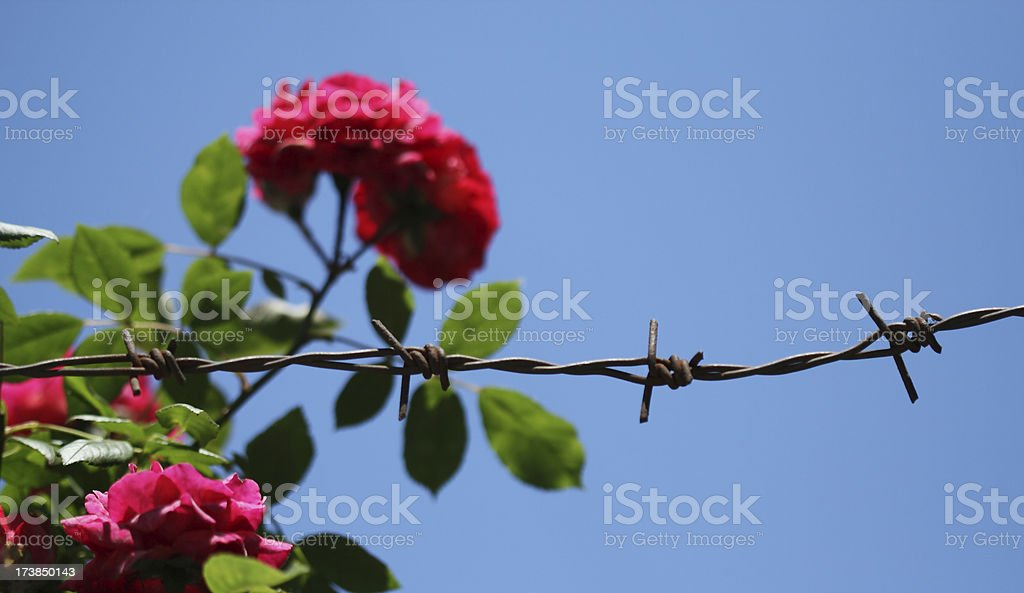 Roses And Wire royalty-free stock photo