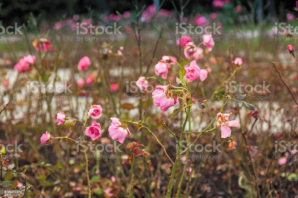 Roses at the end of summer in Frogner Park  Oslo stock photo