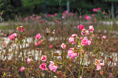 Roses at the end of summer in Frogner Park  Oslo