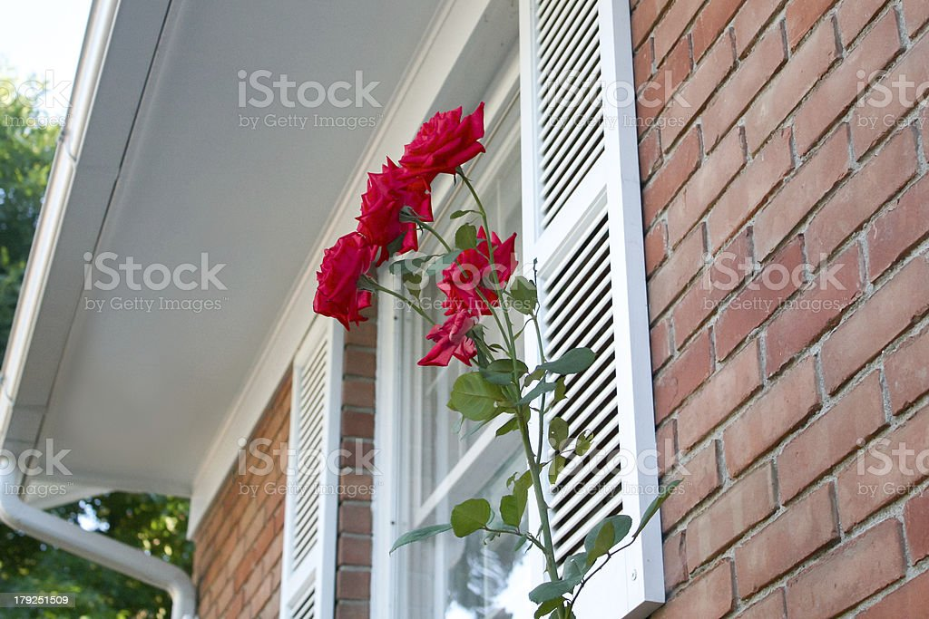 Roses bloom next to a brick house stock photo