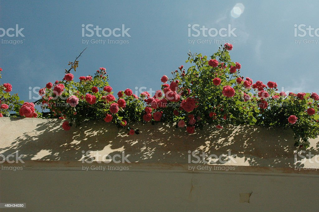 Roses cascading over wall stock photo