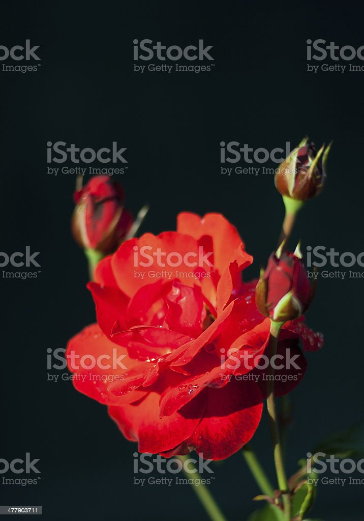 Roses Close-UP royalty-free stock photo