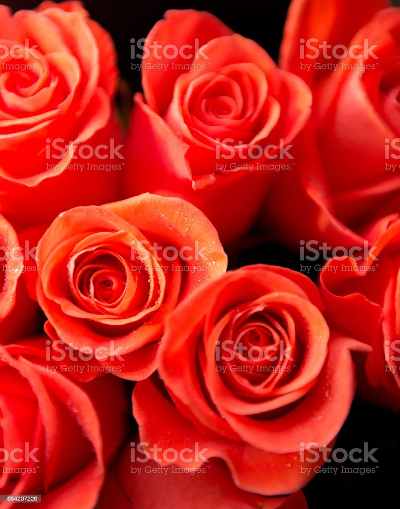 roses closeup with water drops stock photo