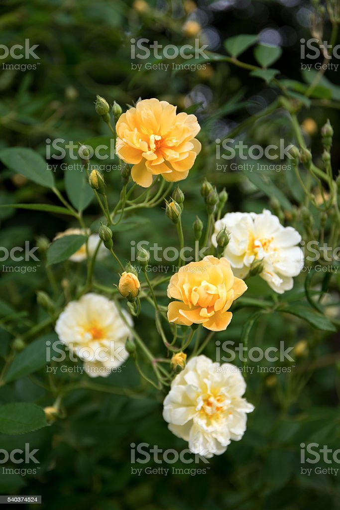 roses, cream, yellow and apricot, Ghislaine de Feligonde stock photo