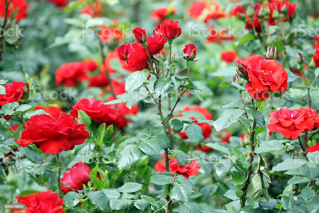 roses flower garden nature spring season stock photo