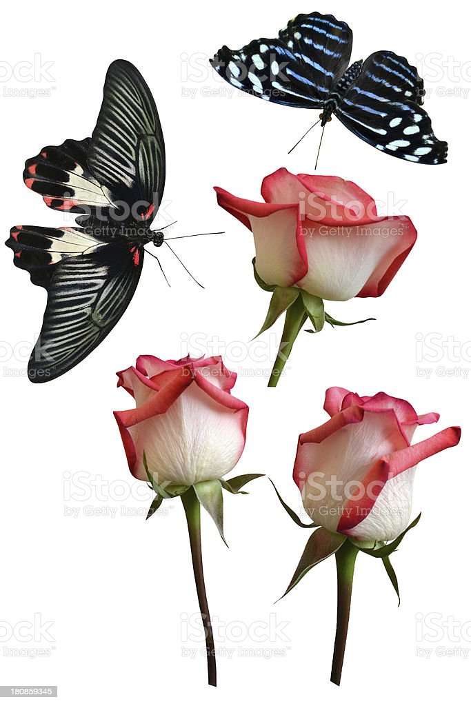 Roses flowers it is isolated butterfly royalty-free stock photo