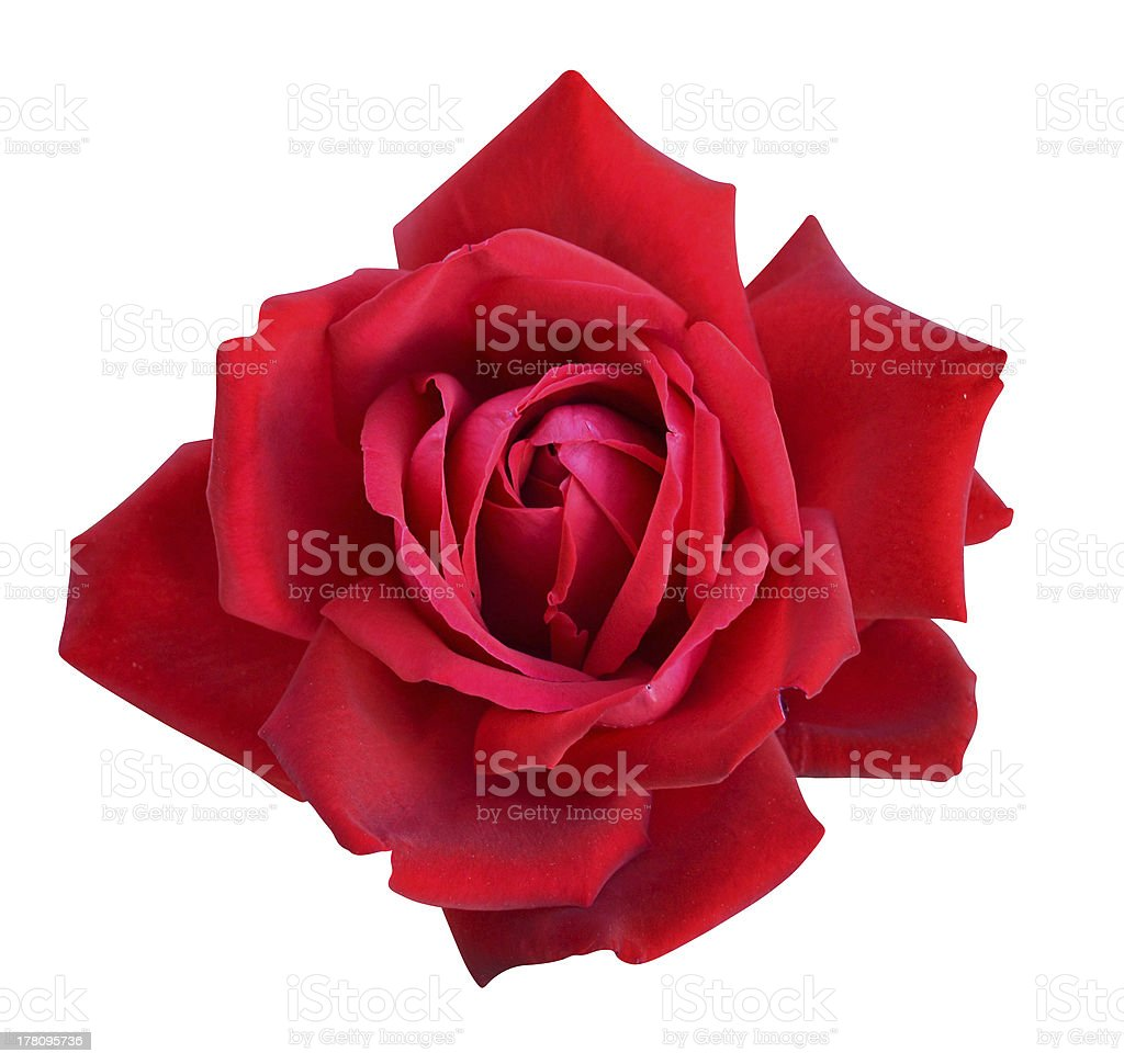 roses flowers royalty-free stock photo