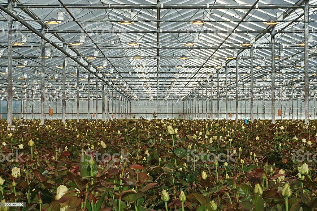 Roses grow better under artificial high-pressure sodiuk light stock photo