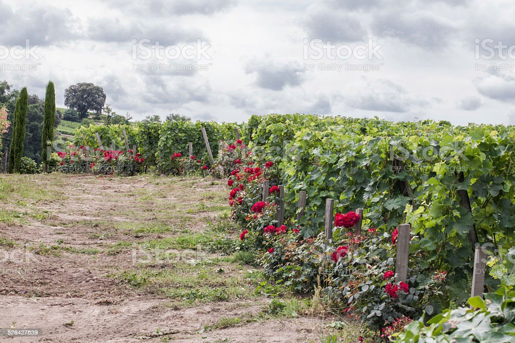 roses in a vineyard stock photo