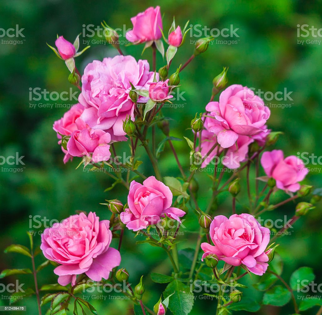 roses in bud bush pink stock photo