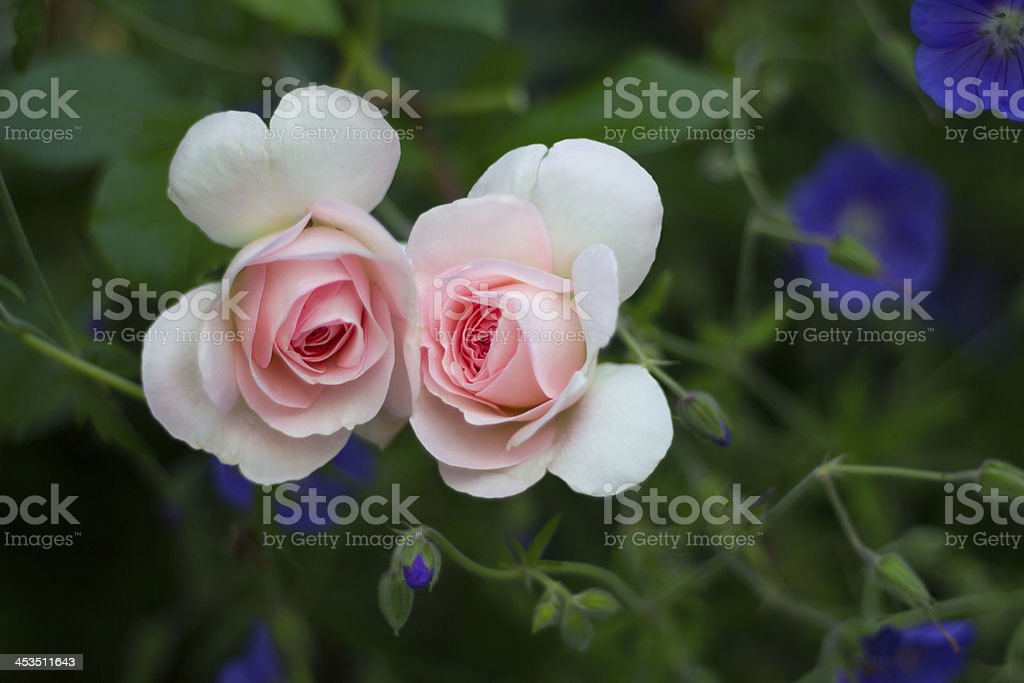Roses in love royalty-free stock photo