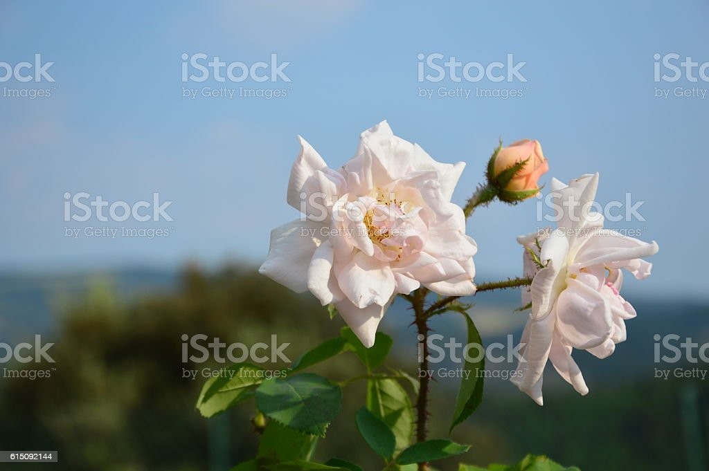 Roses in Provence stock photo
