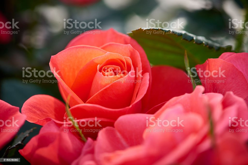 Roses in red and orange shades stock photo