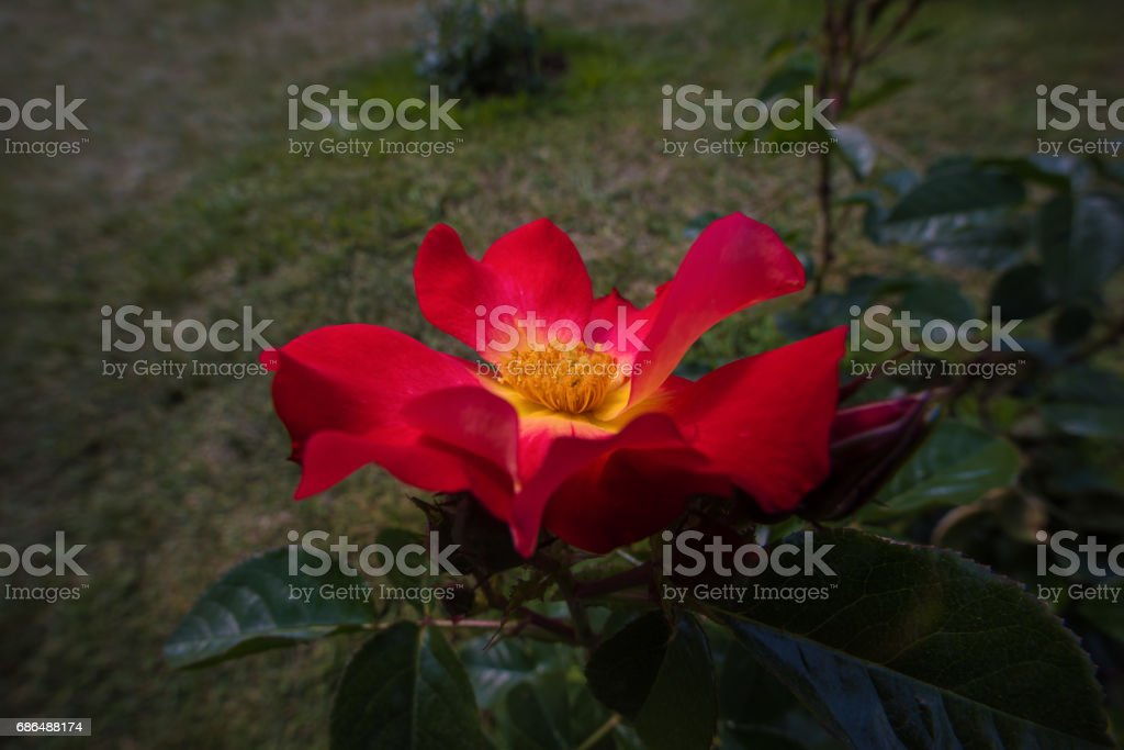 Roses in Rome (Italy) stock photo