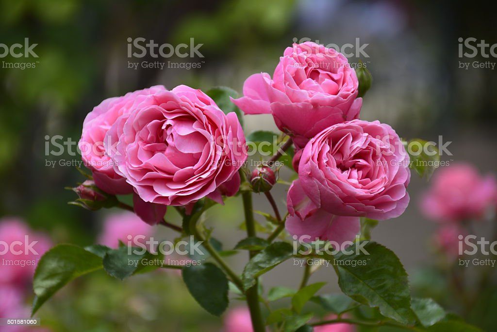 Roses in Santiago, Chile stock photo
