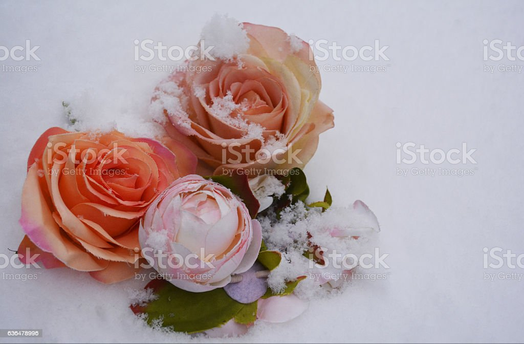roses in the cold stock photo