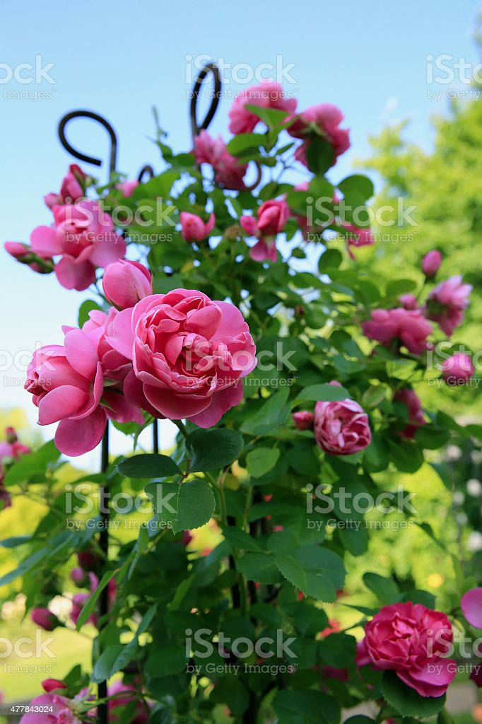 Roses in the garden stock photo