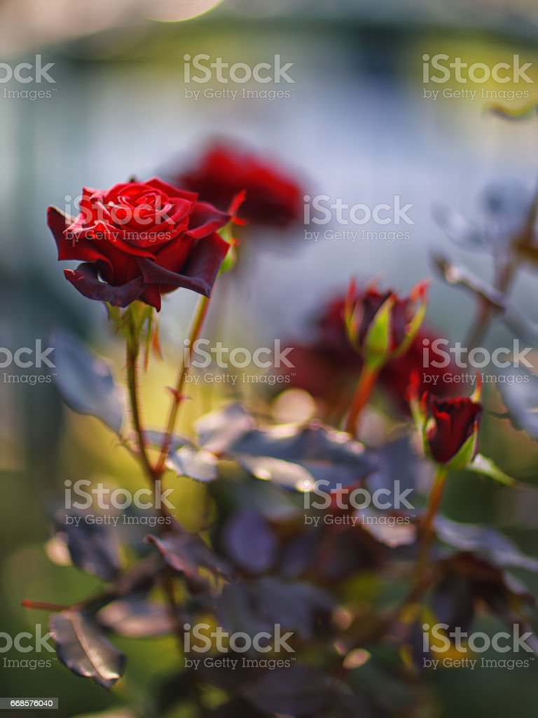 roses in the garden. stock photo