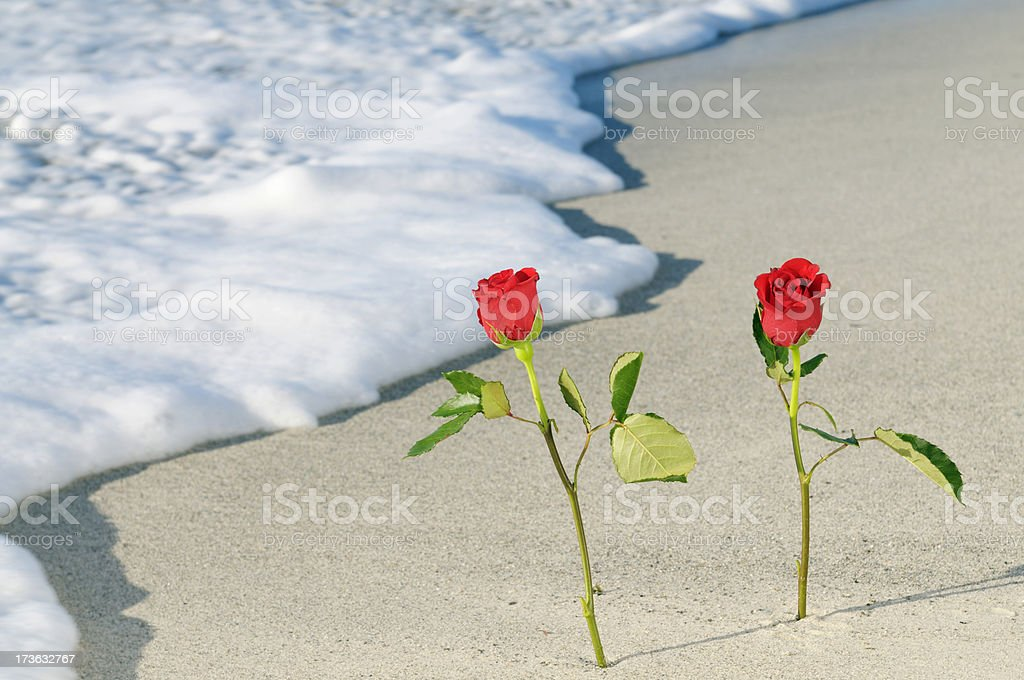 Roses in the Sand on Valentine's Day.Copy Space royalty-free stock photo