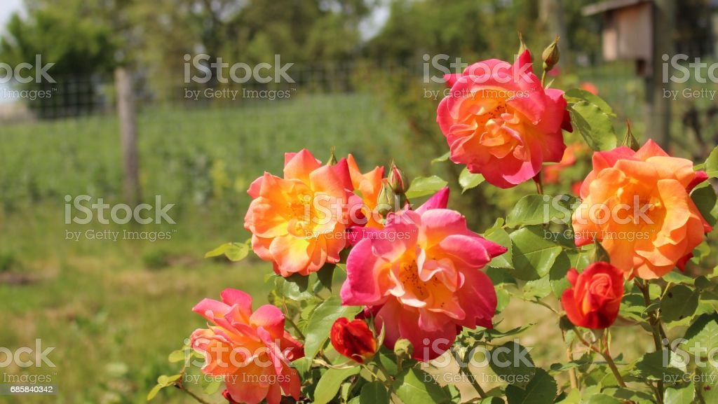 Roses in the vineyard, Napa Valley, California stock photo