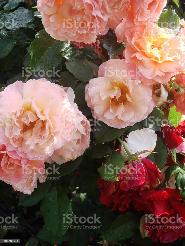 Roses in Varying States of Bloom stock photo