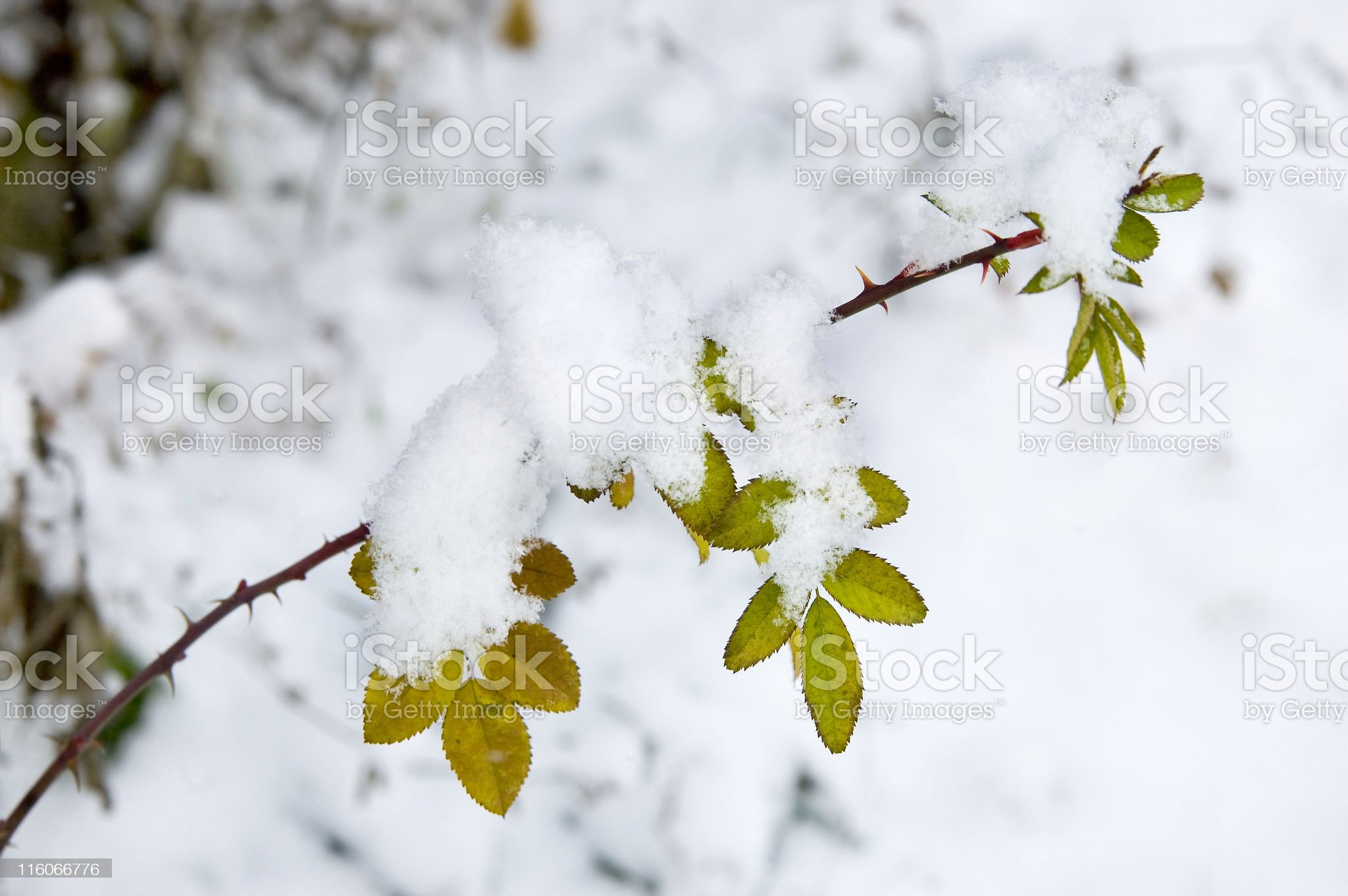 Roses in winter royalty-free stock photo