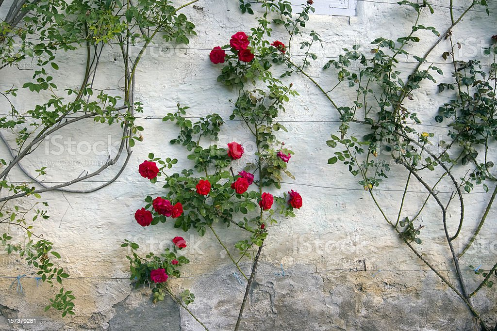 Roses on a white wall. stock photo