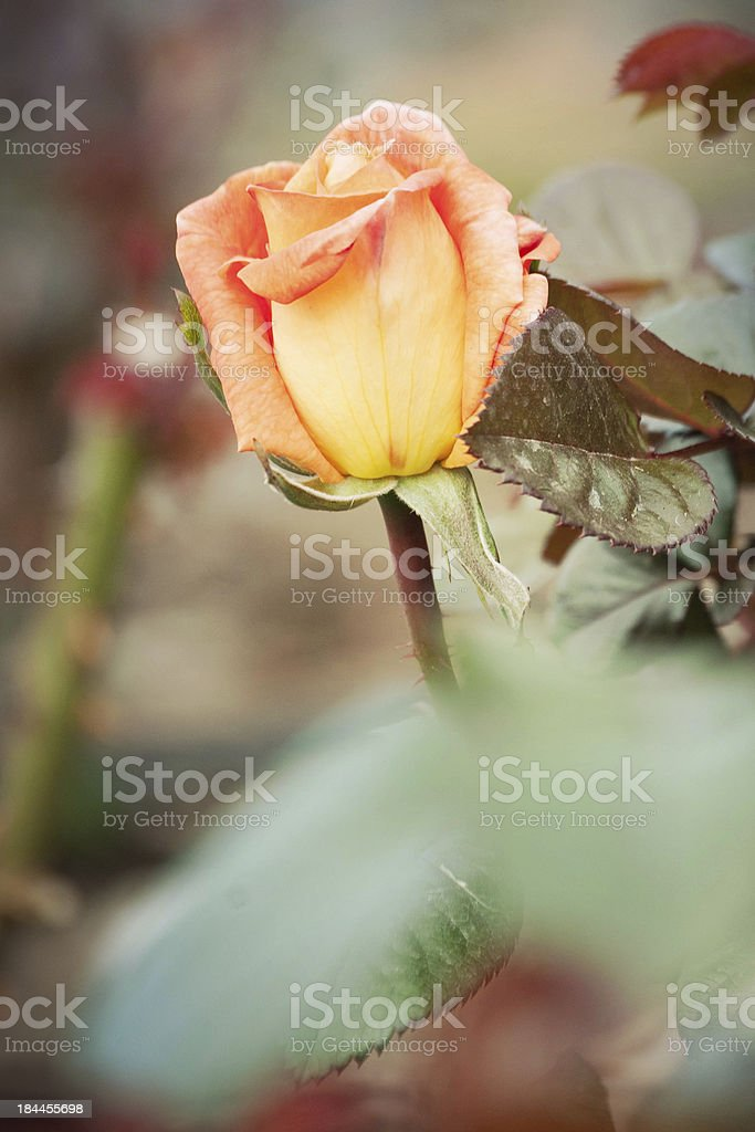 Roses on bush in a garden stock photo