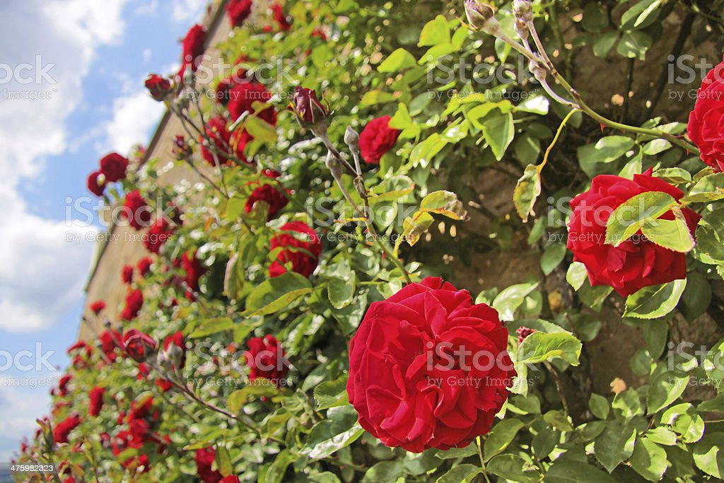 Roses on old wall stock photo