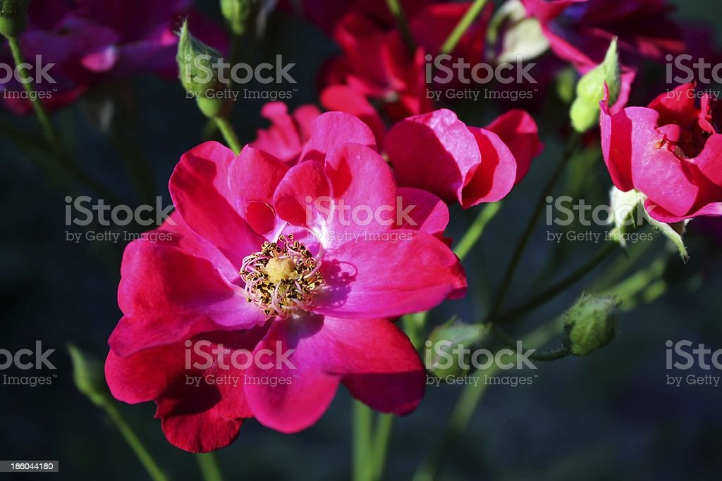 Roses on the bush at sunlight royalty-free stock photo